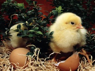 Easter_chicken_1024x768